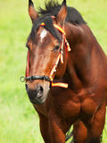 Portrait of wonderful Trakehner stallion. Cloudy day Royalty Free Stock Photo