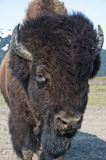Portrait of Wood Bison Stock Images