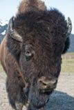 Portrait of Wood Bison. Closeup portrait of male Wood Bison outdoors, Alaska, U.S.A Stock Images