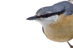 Portrait of a wood nuthatch, Vosges, France Royalty Free Stock Photography