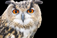 Portrait of a wood owl. Face Stock Photography