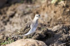 Portrait of a Wood Sandpiper Stock Image