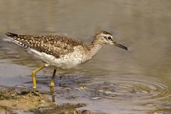 Portrait of a Wood Sandpiper Stock Photo