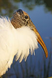Portrait of Wood Stork Stock Photos