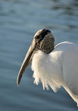 Portrait of a Wood Stork, Florida Royalty Free Stock Images