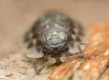 Portrait of a woodlouse. Macro photo Royalty Free Stock Images