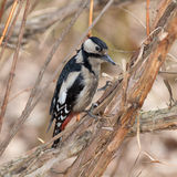 Portrait of woodpecker Stock Photos