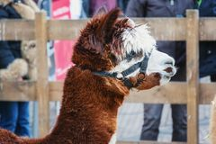 Portrait of a woolly alpaca.  Royalty Free Stock Image