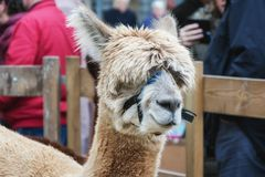 Portrait of a woolly alpaca.  Stock Photos