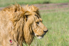 Portrait Of Wounded Lion Royalty Free Stock Image