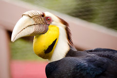 Portrait of wreathed hornbill Royalty Free Stock Photography