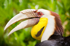 Portrait of wreathed hornbill Royalty Free Stock Images