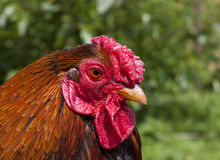 Portrait of a wyandotte rooster royalty free stock photography