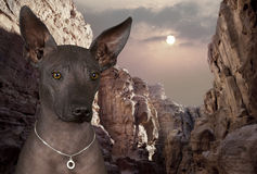 Portrait of xoloitzcuintle dog Stock Photos