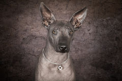 Portrait of xoloitzcuintle dog Stock Photo