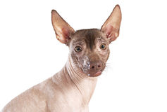 Portrait of xoloitzcuintle dog, white background Stock Photo