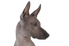 Portrait of xoloitzcuintle male dog Stock Photo