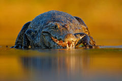 Portrait of Yacare Caiman, crocodile in the water with evening sun, Pantanal, Brazil Royalty Free Stock Image