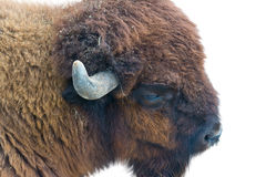 Portrait of a Yak Royalty Free Stock Images