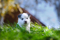 Portrait of yakutian laika puppy Stock Image