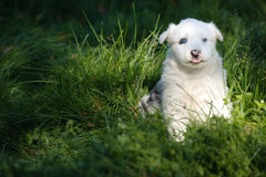 Portrait of yakutian laika puppy Stock Photography