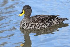 Yellow billed duck Anas undulata Royalty Free Stock Photos