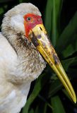 Portrait of a yellow-billed stork Stock Photos