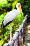 Portrait of Yellow-billed Stork Royalty Free Stock Images