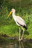 Portrait of Yellow-billed stork - Mycteria Ibis Royalty Free Stock Images