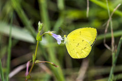 Portrait of  Yellow Butterfly  - Common grass yellow Royalty Free Stock Image