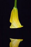 Portrait of yellow calla lily on a black  background Royalty Free Stock Photo