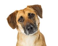 Portrait Yellow Crossbreed Dog Sad Expression royalty free stock photo