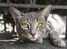 Portrait of yellow eyed cat Royalty Free Stock Photos
