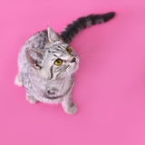 Portrait of yellow-eyed cat on top view Royalty Free Stock Photo