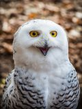 The snowy owl sitting in the wood. Portrait of the yellow-eyed snowy owl Bubo scandiacussitting in the wood Royalty Free Stock Photos