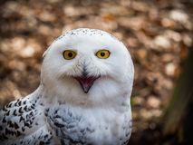 The snowy owl sitting in the wood. Portrait of the yellow-eyed snowy owl Bubo scandiacussitting in the wood Stock Photos