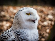 The snowy owl sitting in the wood. Portrait of the yellow-eyed snowy owl Bubo scandiacussitting in the wood Royalty Free Stock Photography