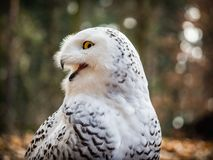 The snowy owl sitting in the wood. Portrait of the yellow-eyed snowy owl Bubo scandiacussitting in the wood Royalty Free Stock Image