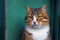Portrait of A Yellow Eyed Tabby Cat Stock Photos