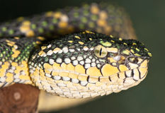Portrait of a yellow-green snake Stock Photography
