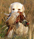 Portrait of yellow labrador with pheasant Stock Photo