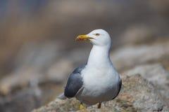 Portrait of yellow-legged gull (Larus michahellis) Stock Image