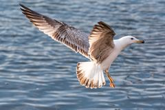 Yellow-legged gull larus michahellis in flight on blue sky. Portrait of yellow-legged gull Larus michahellis bird in natural environment Stock Image