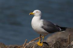 Portrait of yellow-legged gull (Larus michahellis) Stock Photos