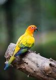 Portrait of yellow lovebird. Portrait of cute yellow lovebird Stock Photo
