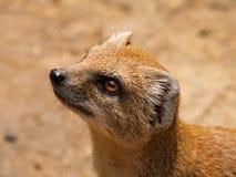Portrait of Yellow mongoose - Cynictis penicillata Stock Image