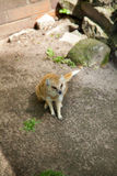 Portrait of a yellow mongoose. In zoo Stock Images