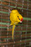 Portrait of a yellow parrot Royalty Free Stock Photos