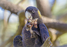 Portrait of Yellow Tailed Black Cockatoo Stock Images