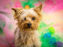 Portrait of Yorkie on colorful Easter background. Cute Yorkie with colorful background, Easter Eggs and grass royalty free stock image